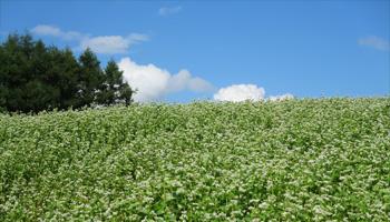 ソバ畑の写真